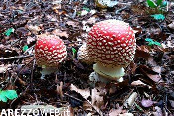 Funghi, nonna e nipote gravi per aver ingerito la Amanita Phalloides