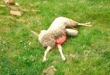 Pecore Lalli uccise dai lupi