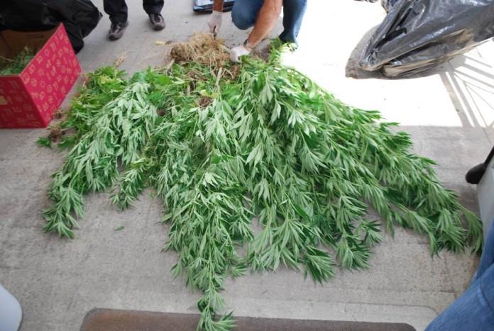 marijuana pianta