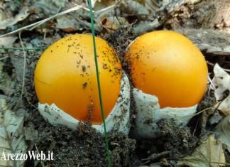 funghi cucchi