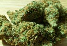 Valdarno: agricoltore sangiovannese coltivava marijuana nell'orto di casa